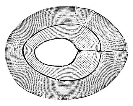 Ce cadre montre une section de cerise mûre. C'est là que l'on voit la graine de la cerise, dessin au trait vintage ou illustration de gravure.