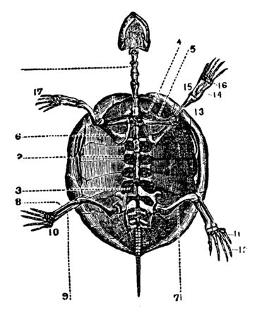 Skeleton of a Tortoise which are expanded forming the dorsal part of its shell, vintage line drawing or engraving illustration.