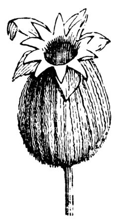 This is image of Seed Vessel of Lychnis and it bears seed inside the pod. Lychnis is a flowering plant, vintage line drawing or engraving illustration.