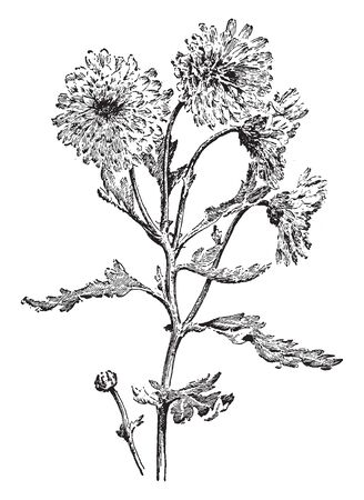Pompon is a chrysanthemum with small rounded flower heads, vintage line drawing or engraving illustration.