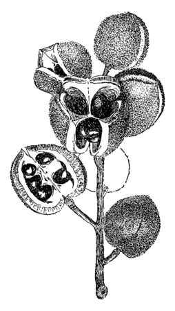 Picture shows the Xanthoceras Sorbifolia Plant. It has spherical fruits along with seed; it is about the size of a pea with a taste like a sweet chestnut. It is flowering plant and Sapindaceae family, vintage line drawing or engraving illustration.