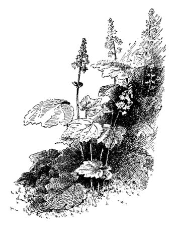 A picture is showing the branch and flowers of Tiarella Cordifolia which is a herbaceous plant used as a common shrub, vintage line drawing or engraving illustration. Imagens - 132903009