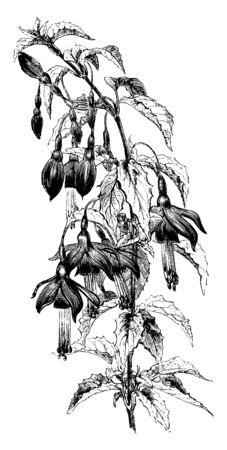 The Fuchsia Pumila is also known as Fuchsia. It is the dwarf variety. It has dark green leaves with a faint bronze sheen, vintage line drawing or engraving illustration.