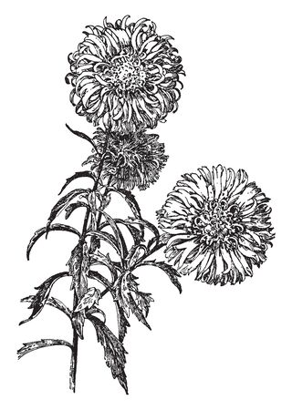 The image shows the comet type of China aster. There are many yellow disc florets in the center. The fruit is a rough-textured, glandular, purple-mottled cypsela that turns gray with age, vintage line drawing or engraving illustration.