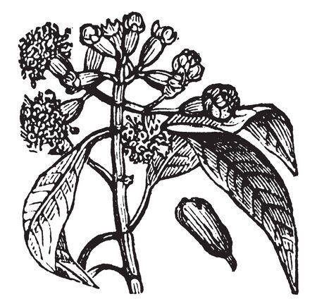 The clove tree is an evergreen that grows up to 8-12 m tall, with large leaves and crimson flowers grouped in terminal clusters, vintage line drawing or engraving illustration.