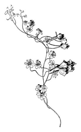 This picture is representing herb which is belonging to the Tropaeolaceae mostly found in American tropics, vintage line drawing or engraving illustration.