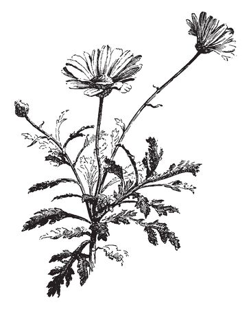 A picture showing a Paris daisy. The flower small and round. This is from Asteraceae family. Stem is thin, vintage line drawing or engraving illustration.
