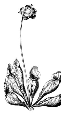 The picture of Pitcher Plant. The pitcher flower growing on down base of pedicel, vintage line drawing or engraving illustration.
