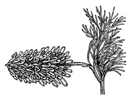 Spider-Net Grevillea is a tiny bush; its dark green leaves are divided into narrow segments, vintage line drawing or engraving illustration.