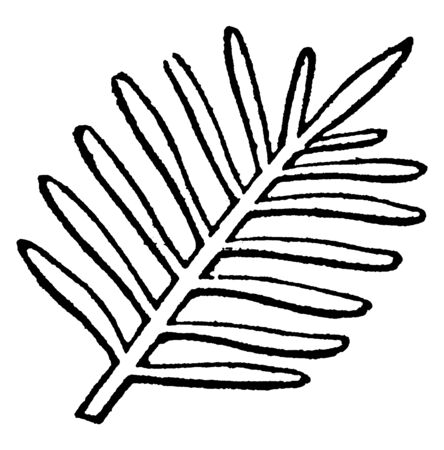 This image shows a pectinase leaf. This pectinase leaves having very narrow, close divisions, in arrangement and regularity resembling those of a comb, vintage line drawing or engraving illustration.