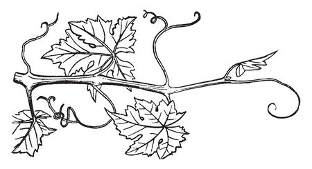 A slender woody shoot growing from a branch of a Grapes vine, vintage line drawing or engraving illustration. Illustration