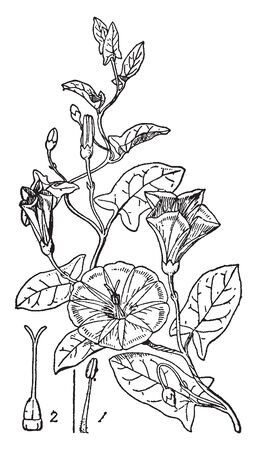 This is a picture of Bindweed. It has pure white trumpet flowers with heart shaped leaves, vintage line drawing or engraving illustration.