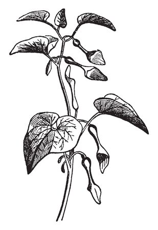 A Picture shows Aristolochia Plant. The smooth stem is erect or somewhat twining. The simple leaves are alternate and cordate, membranous, growing on leaf stalks. The flowers grow in the leaf axils, vintage line drawing or engraving illustration. Иллюстрация