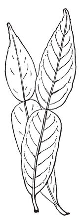 A leaf of Citrus Ichangensis plant. Leaves feature a broad petiole, and resemble the leaves of the yuzu and the Kaffir lime in appearance, vintage line drawing or engraving illustration. Ilustração