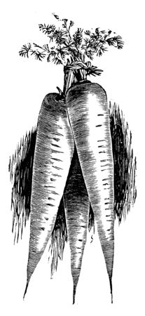 A picture of Improved Long Orange Carrot. It is about 12 inches long; roots are long and have an orange colour. It can be grown in most soils and is planted in spring, vintage line drawing or engraving illustration.