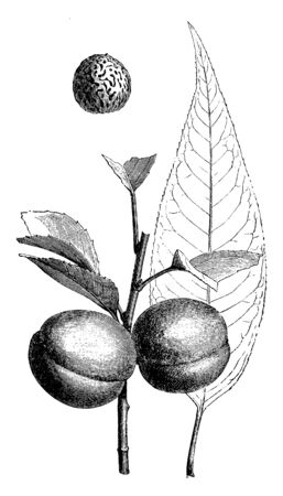 This frame has the peach fruit. Around that fruit are the leaves of that tree, vintage line drawing or engraving illustration. Çizim