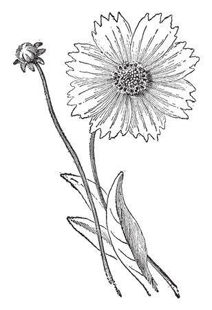A picture is showing the slice of the flower head of a Coreopsis, with a perfect tubular flower, a ray flower and neutral and part of another section or bracts or leaves of the involucre, vintage line drawing or engraving illustration. Illustration