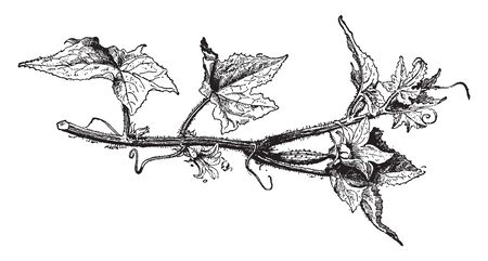 Cucumis Sativus (Cucumber) plants are tendril bearing vines with triangular prickly hairy leaves and yellow flowers which are either male or female, vintage line drawing or engraving illustration.