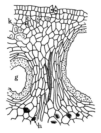 A picture of orange peel showing the cavity of an interior, globular gland, hesperidin crystals and calcium oxalate crystals, vintage line drawing or engraving illustration. Standard-Bild - 132902885