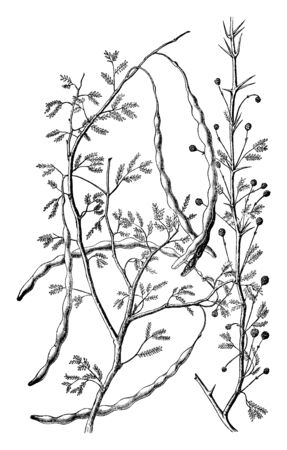This is an acacia, its leaves are rare in size, the flowers have grown on branch, and the tree has long-sized pods, vintage line drawing or engraving illustration.  イラスト・ベクター素材