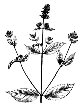 This picture is showing the leaves of peppermint plant. Leaves of this plant use for medical purpose, in earlier century the leaves of this plant use as medicine, vintage line drawing or engraving illustration.