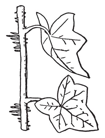 A picture showing the aerial roots of Ivy plant, vintage line drawing or engraving illustration.