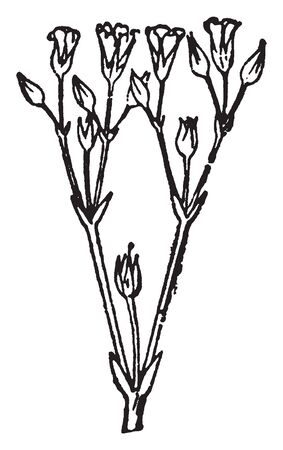 Chickweeds are medicinal and edible plants. The stem is weak, branched, tufted, leafy and a hairy fringe on one side, vintage line drawing or engraving illustration.