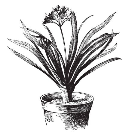 Clivia miniata is a clump-forming perennial flower plant with dark green, strap-shaped leaves which arise from a fleshy underground stem, vintage line drawing or engraving illustration. Ilustrace