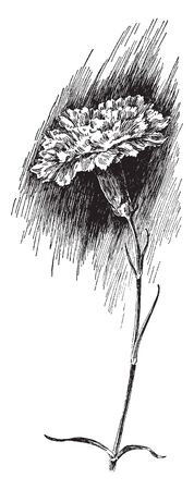 This is an image of Little Gem Carnation. Striped carnations can have five petals. However, there are blossoms that have double flowers, vintage line drawing or engraving illustration.