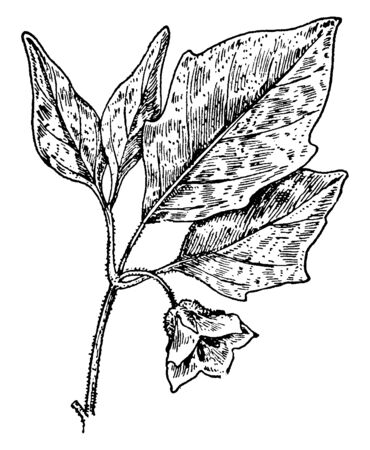 Virginia ground-cherry is a widespread native plant. Its leaves are polish green and lance shaped. Small greenish flowers grow on each of its stems, vintage line drawing or engraving illustration.