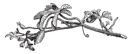 Cucumis anguria is a thinly stemmed, herbaceous vine. Fruits are long stalked, and ovoid to oblong. The surface of the fruits has long hairs covering a surface has warts or spines, vintage line drawing or engraving illustration. Ilustração