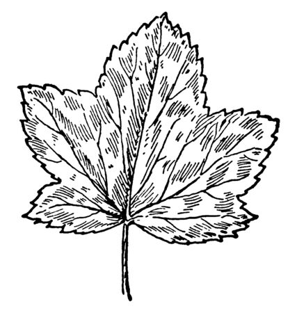 The picture of a leaf that relates to Malva Sylvestris, vintage line drawing or engraving illustration. Ilustracja