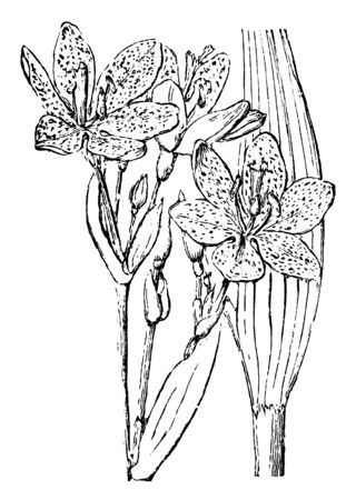 A picture showing a Pardanthus Chinensis. This is from Iridaceae family. The flower is red and green, vintage line drawing or engraving illustration.  イラスト・ベクター素材