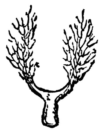 Stems is thick and short, branches grow both side of stems, leaves are thin and short, vintage line drawing or engraving illustration.