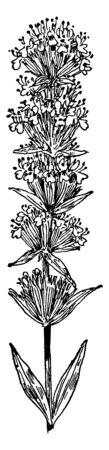 This picture is showing Hyssop plant which is a member of Mint family also known as Lamiaceae or Labiatae, vintage line drawing or engraving illustration.