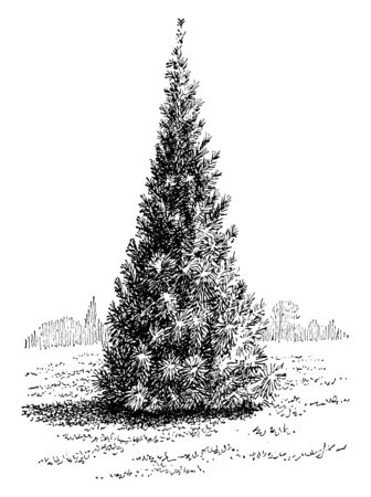 Umbrella pine is a slow growing conical conifer, also called as Sciadopitys Verticillata. The needles are relatively thick, dark green in colour that occurs in whorls along the stem, vintage line drawing or engraving illustration.