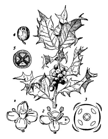This picture is showing different parts of Holly tree which are mostly found in western and southern Europe, northwest Africa and southwest Asia, vintage line drawing or engraving illustration. 일러스트