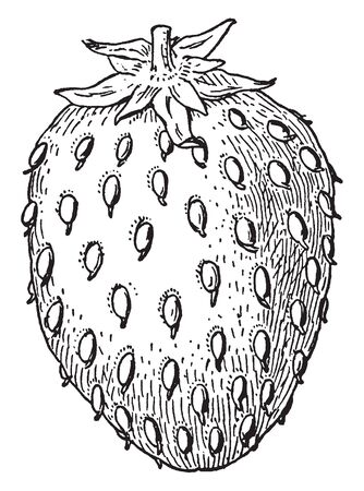 This is picture showing strawberry fruit. This fruit is sweet and juicy. The seed grow on the external part of fruit. Seed are round and small. The leaves are small and attached to fruit, vintage line drawing or engraving illustration.
