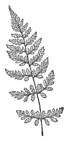 A picture of Cystopteris Fragilis and It is species of fern. The stem is brittle near its base, vintage line drawing or engraving illustration.  イラスト・ベクター素材