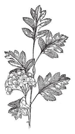 Crataegus Pinnatifida is the common name of Chinese haw or Chinese hawberry, is also known as mountain hawthorn.Its fruits are small and also the trees, vintage line drawing or engraving illustration. Stock Illustratie