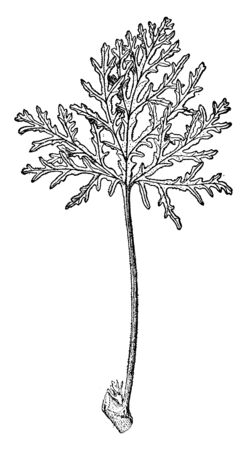 A picture is showing Skeleton-Leaved Germanium, also known as Pelargonium radula. This is the leaf of the Skeleton-Leaved Germanium. It is perennials shrubs, vintage line drawing or engraving illustration.