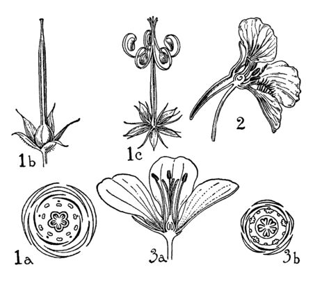 A picture is showing Orders of Geraniaceae, Tropaeolaceae, and Linaceae. This illustrated are: (1) geranium, (2) tropaeolum, and (3) linum, vintage line drawing or engraving illustration.