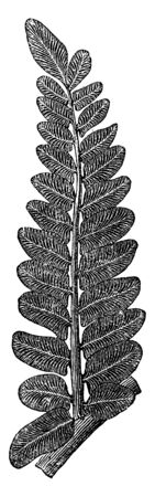 A picture of Fern Fossil and known as Neuropteris, vintage line drawing or engraving illustration. Çizim