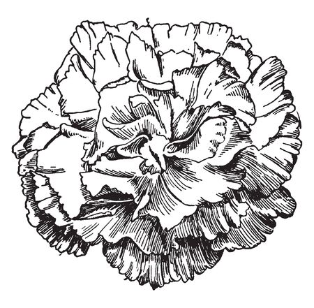 This is an image of Pink Delight Carnation. It shows entire edged petals, vintage line drawing or engraving illustration.