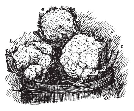 Cauliflower is a cool-season crop. The head is usually ready about a week and they are three types of cauliflower heads- (a) ricy, (b) leafy, and (c) perfect, vintage line drawing or engraving illustration. Illusztráció