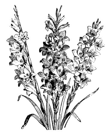 This picture is flower plant called Gladiolus Gandavensis, which is in yellow color. This flower blooms in summer season and a mixture between this plant Gladiolus Pecchicus and Gladiolus Cardinalis, vintage line drawing or engraving illustration. Ilustrace