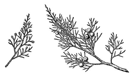Rocky Mountain Juniper: A shrubby tree with a wide, irregularly rounded crown and knotty, twisted trunk reaching 13 meters in height, vintage line drawing or engraving illustration.