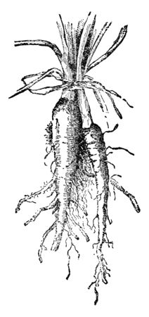 This is an oyster vegetable. It is a type of vegetable. Its growing underground. Leaves grow upper side of vegetable, vintage line drawing or engraving illustration. Ilustração