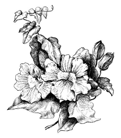 A beautiful flowering vine, whose leaves are heart-shape, beautiful pale blue or white flowers are cup-like with pale yellow to cream blue striped centers, vintage line drawing or engraving illustration. Çizim