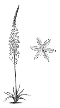 Habit and detached single flower of Ornithogalum Pyramidale. Star of Bethlehem is the common name of Ornithogalum. The Pyramidale variety has pure white flowers, vintage line drawing or engraving illustration.